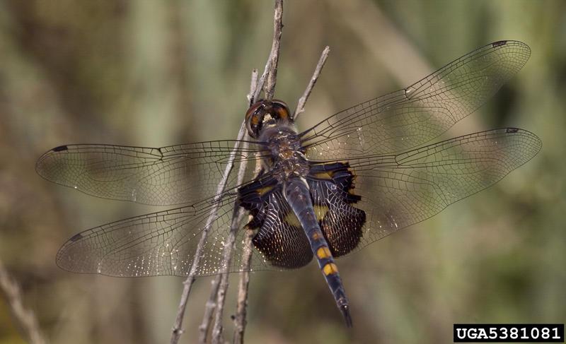 A black saddlebags dragonfly.