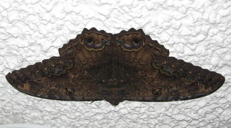 A male Ascalapha Odorata or commonly known as the Black Witch Moth.