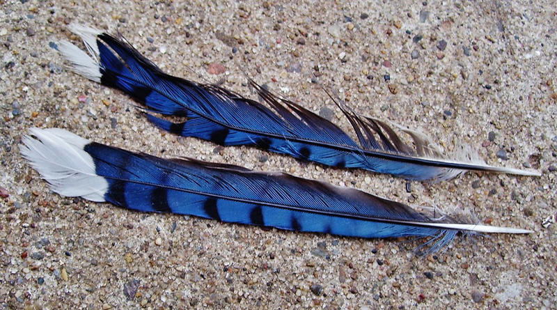 Blue Jay feathers.