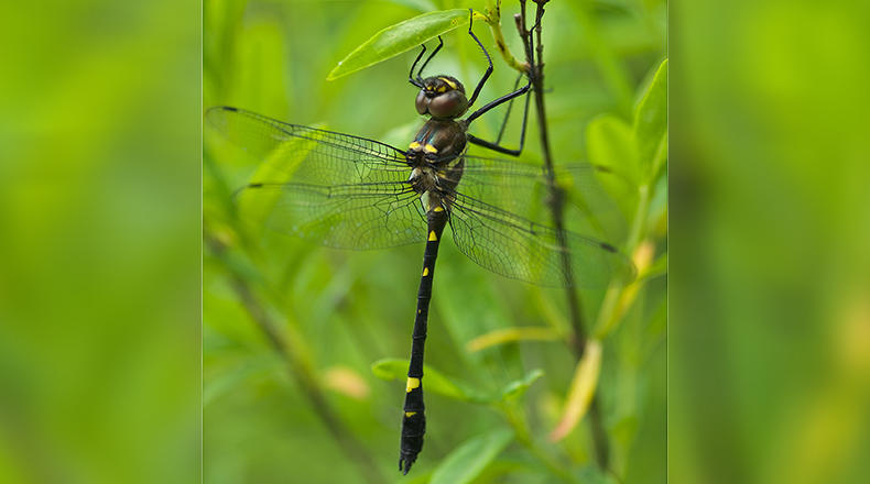 Swift river cruiser (Macromia illinoiensis) dragonfly - male.