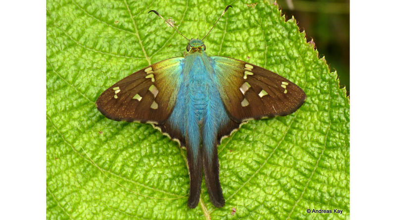 A Long-Tailed Skipper.