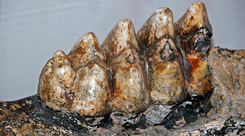 Mammut americanum (Kerr, 1792) - American mastodon tooth (molar) from the Pleistocene of North America. (public display, Cincinnati Museum of Natural History & Science, Cincinnati, Ohio, USA)