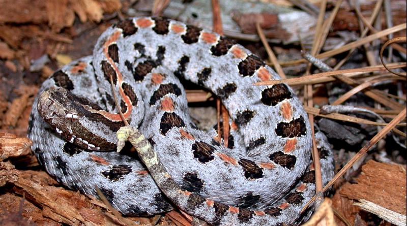 Sistrurus miliaris miliaris, the Carolina pigmy rattlesnake.