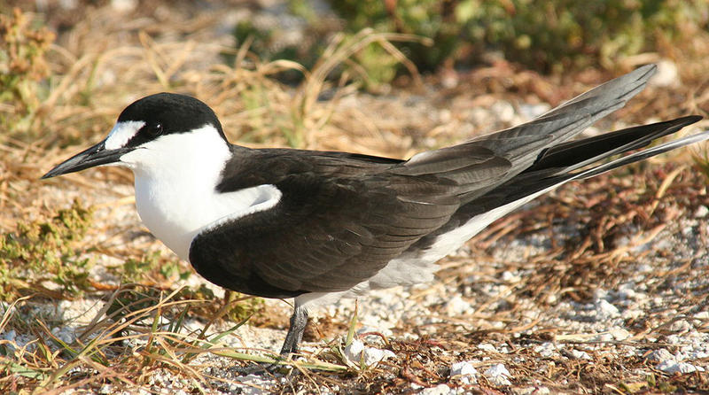 An adult sooty tern.