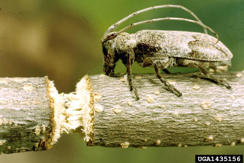 A twig girdler beetle.