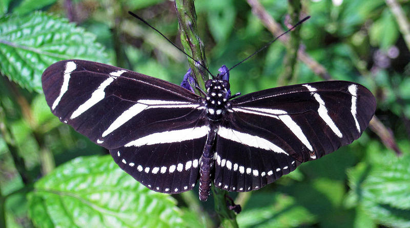 Heliconius charitonius (zebra longwing butterfly),Florida.
