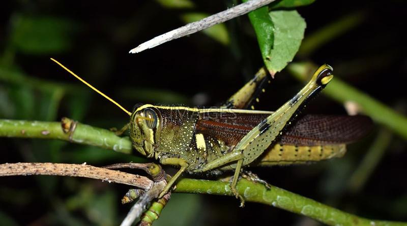 A Spotted Bird Grasshopper, Schistocerca lineata.