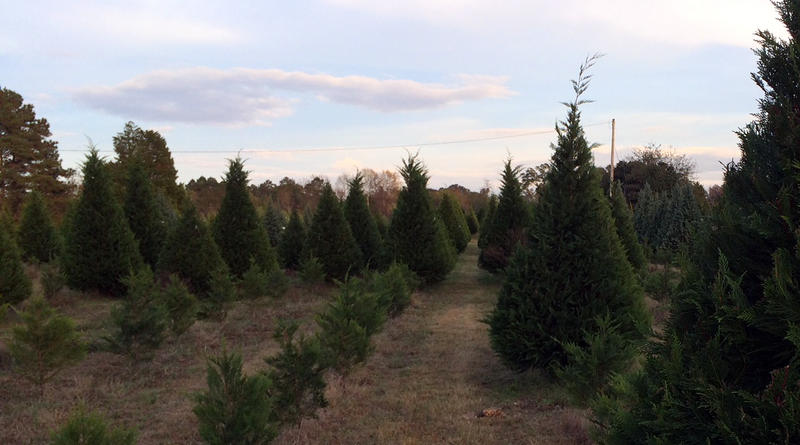 Newly planted seedlings grow near fully grown trees of various sizes at Mike McCartha's Christmas tree farm in Gilbert, S. C'
