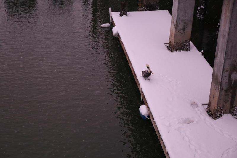 Pelican on Shem Creek