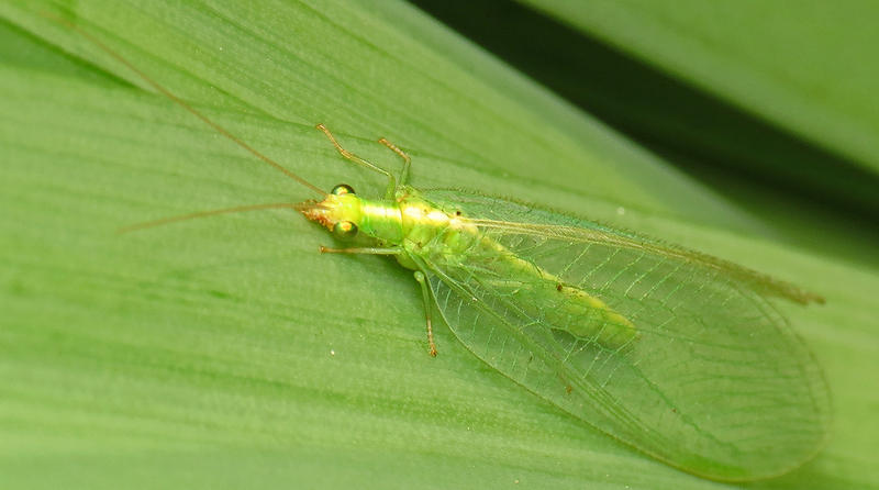 A Green Lacewing Fly.