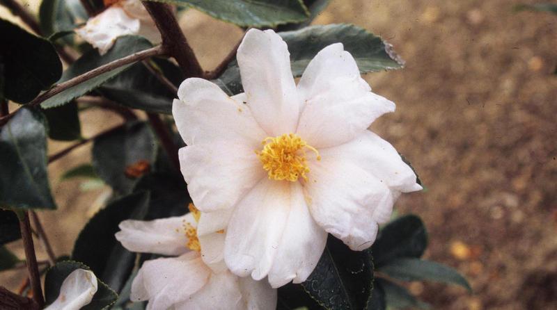 Camellia oleifera flower.