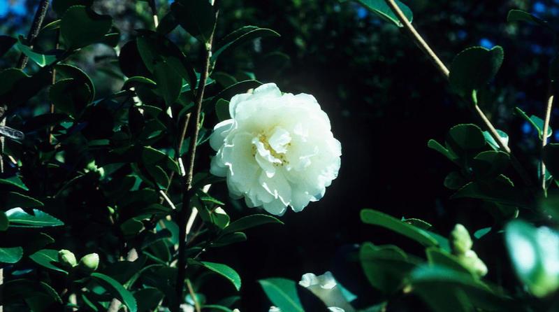 Camellia sasanqua (white cultivar) flower.
