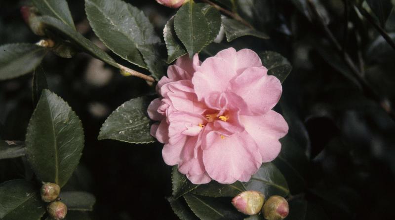 Camellia sasanqua flower.