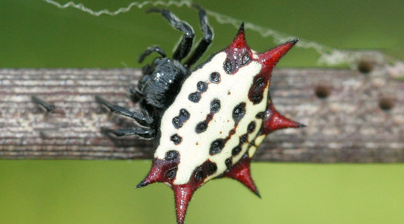 A Spiny Backed Orb Weaver.