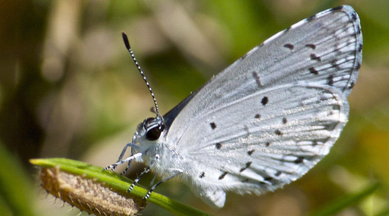 A Spring Azure butterfly.