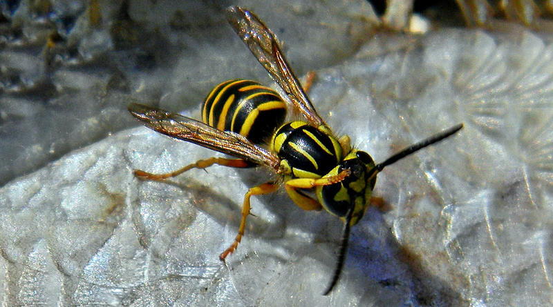 A Southern Yellowjacket.