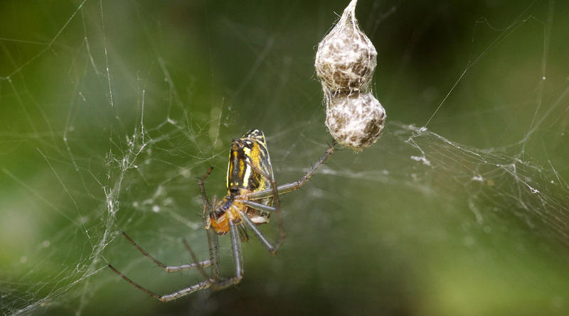 Basilica Orbweaver with Egg Sacks.