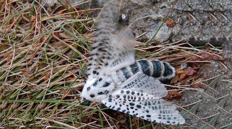 The Great Leopard Moth.