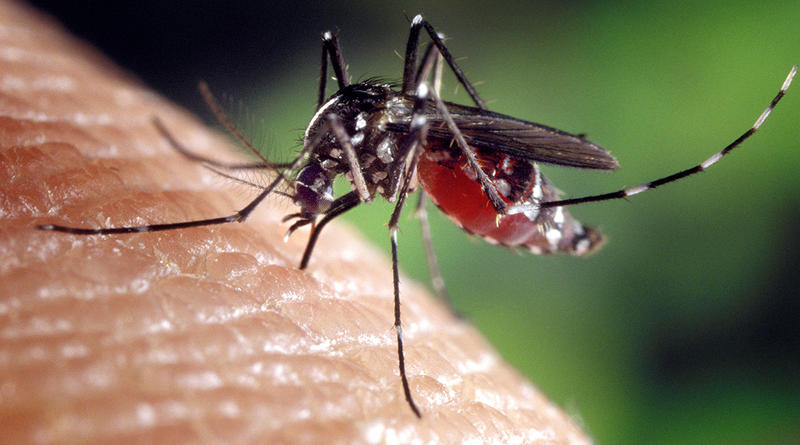 According to Clemson University biologist Peter Adler, two thirds of the approximately 60 mosquito species in South Carolina don't bite humans.  This Aisian Tiger mosquito, however, does.