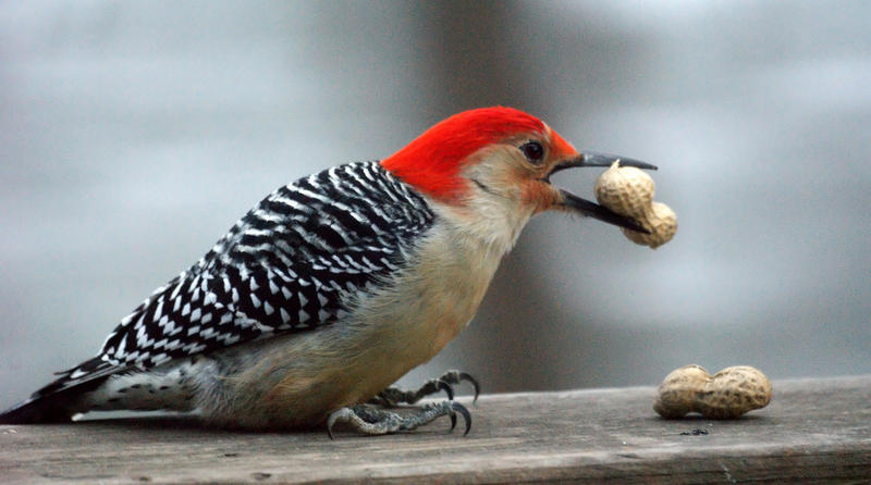 A female Red Bellied Woodpecker.
