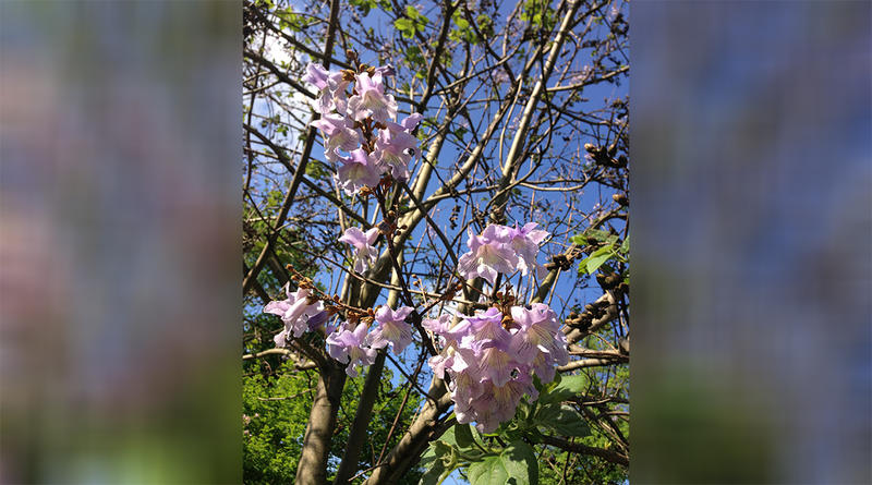 Royal Paulownia blossoms.