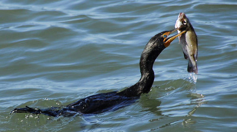 Cormorant fishing the Indian River Lagoon, Florida.