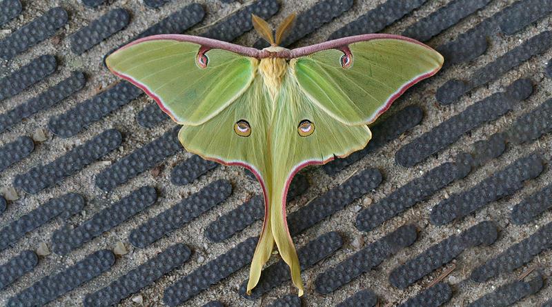 Luna Moth - Actias luna.