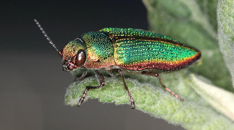 A Metallic Wood-Boring Beetle.