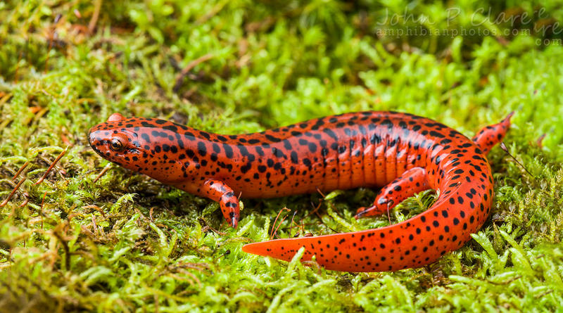 A Northern Red Salamander.