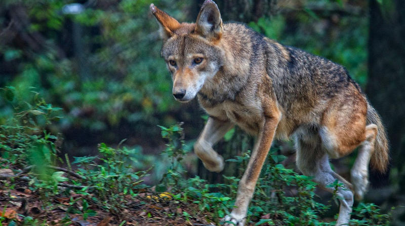 A red wolf at the Land Between the Lakes recreation area in Kentucky.