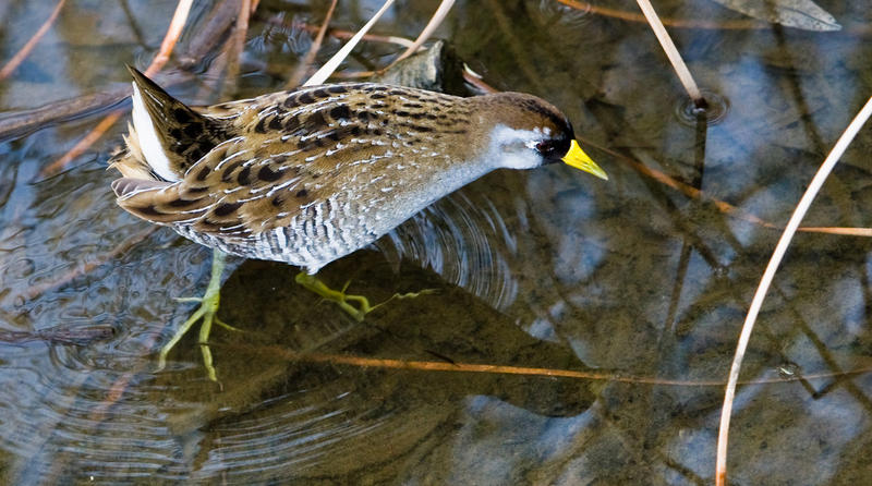 The Sora (Porzana carolina) is a small waterbird, of the family Rallidae, sometimes also referred to as the Sora Rail or Sora Crake.
