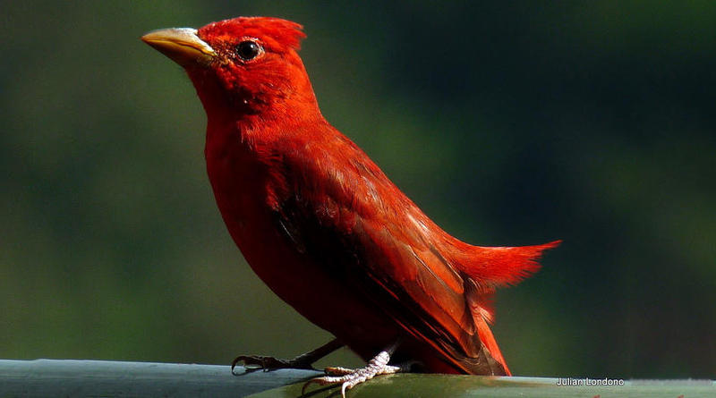 A Summer Tanager.