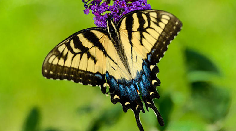 Eastern Tiger Swallowtail Butterfly.