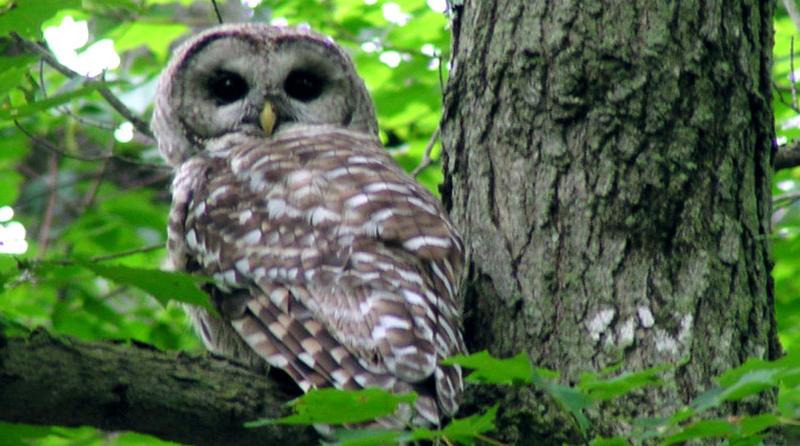 A Bard Owl