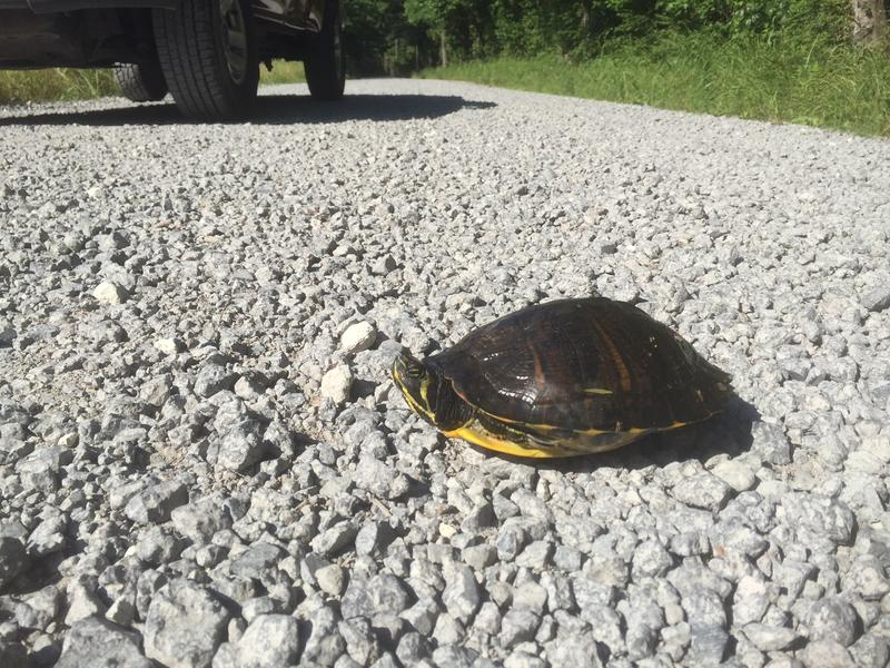 It's common for female turtles to cross roadways during the spring and summer months while searching for nesting grounds.