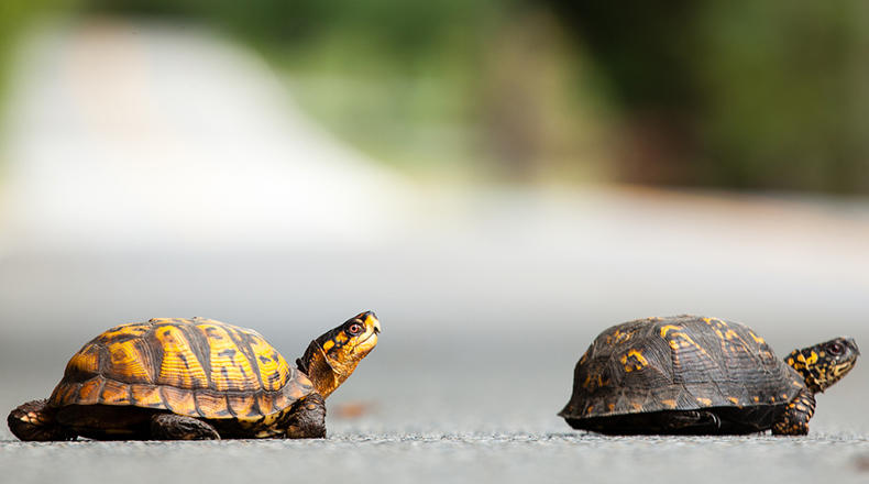 Two Eastern Box Turtles cross the road.
