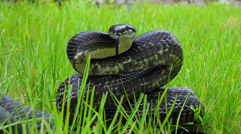 A Black Rat Snake.