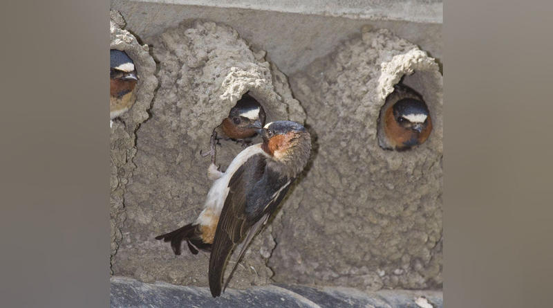 Cliff swallows nesting under a bridge.