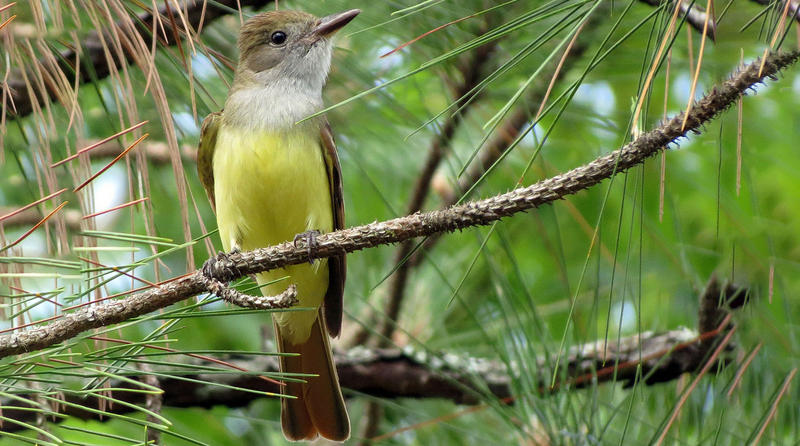 A Great Crested Flycatcher.