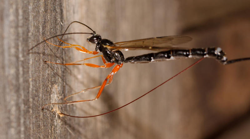 An Ichneumon wasp laying its eggs. Inside the wood is the larva of another insect, possibly a Horntail wasp.
