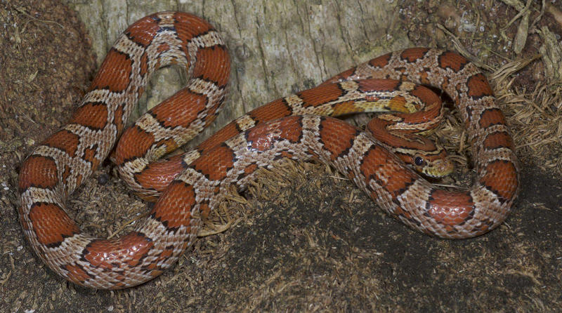 A Red Rat Snake.