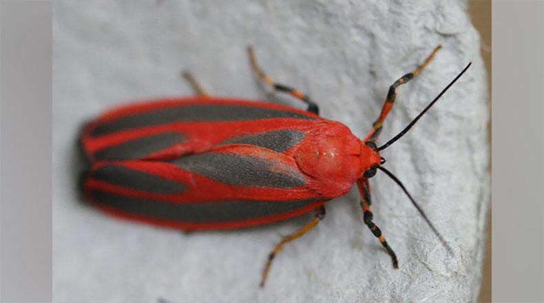 A Scarlet-Winged Lichen moth.