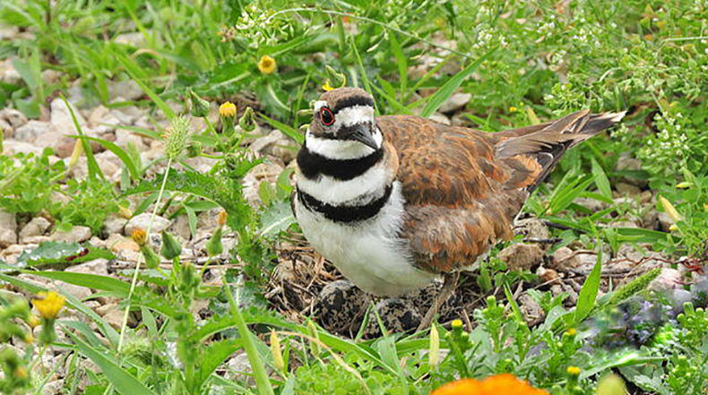 A Killdeer with its nest and eggs.