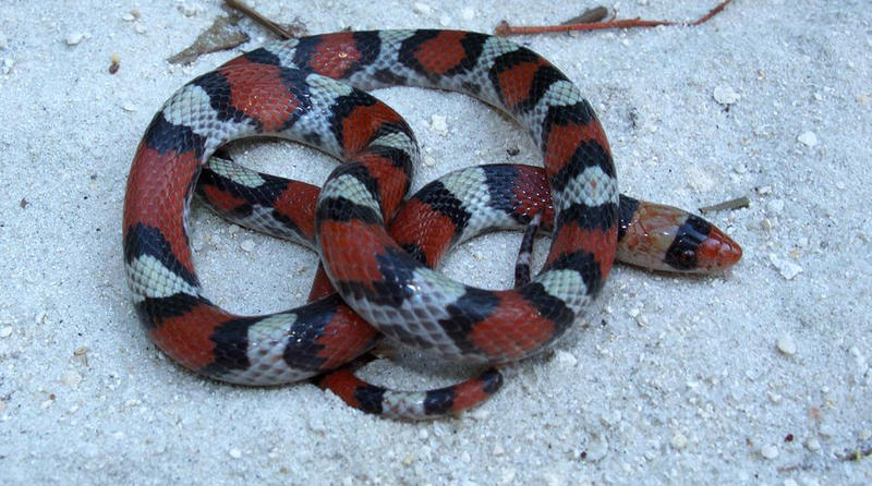 This Northern Scarlet snake is sometimes mistaken for a Coral Snake.