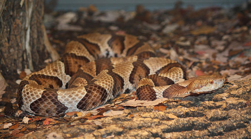 A Southern Copperhead