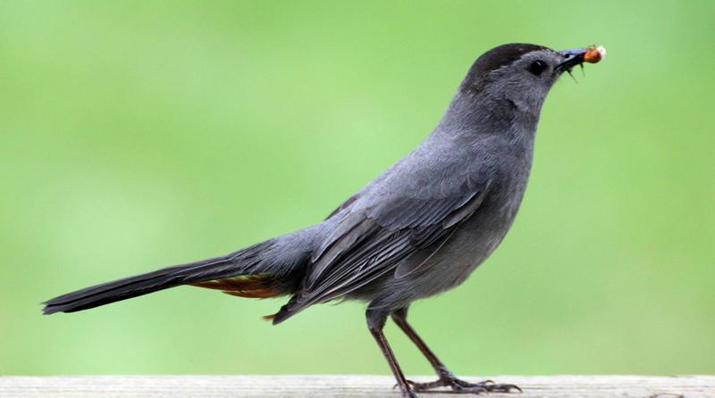 A Gray Catbird.