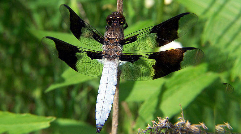 A common whitetail dragonfly, male.