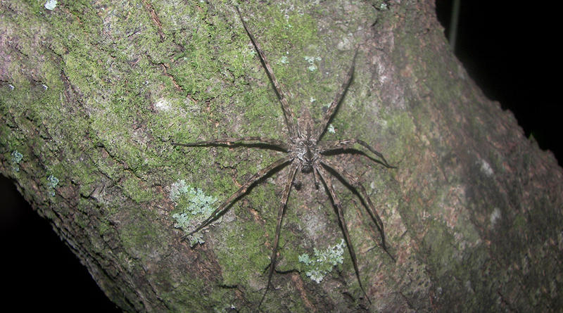 The Whitebanded Fishing Spider, Dolomedes albineus.