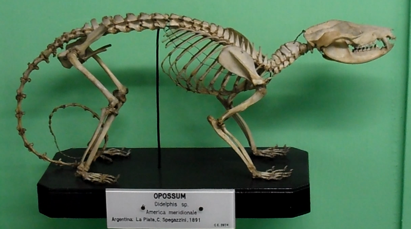 A Opossum skeleton.