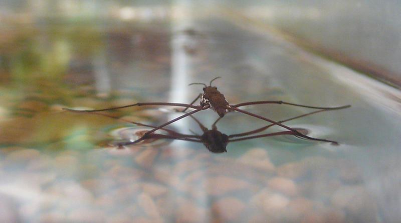 A Water Strider.